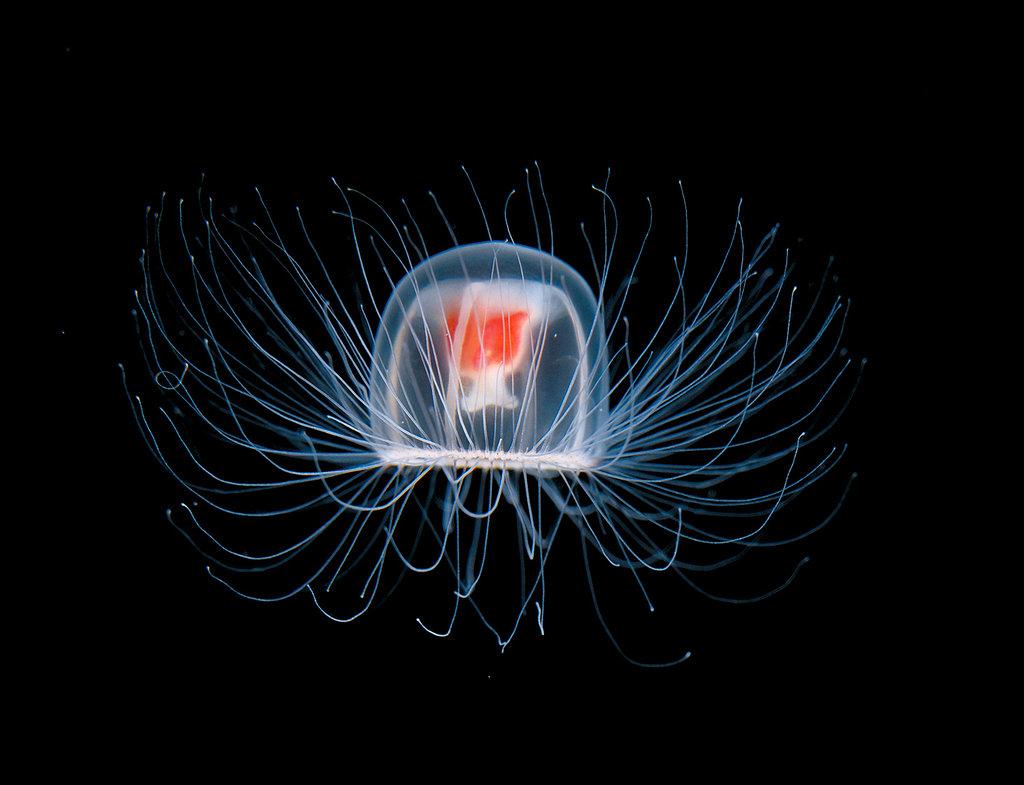La medusa inmortal