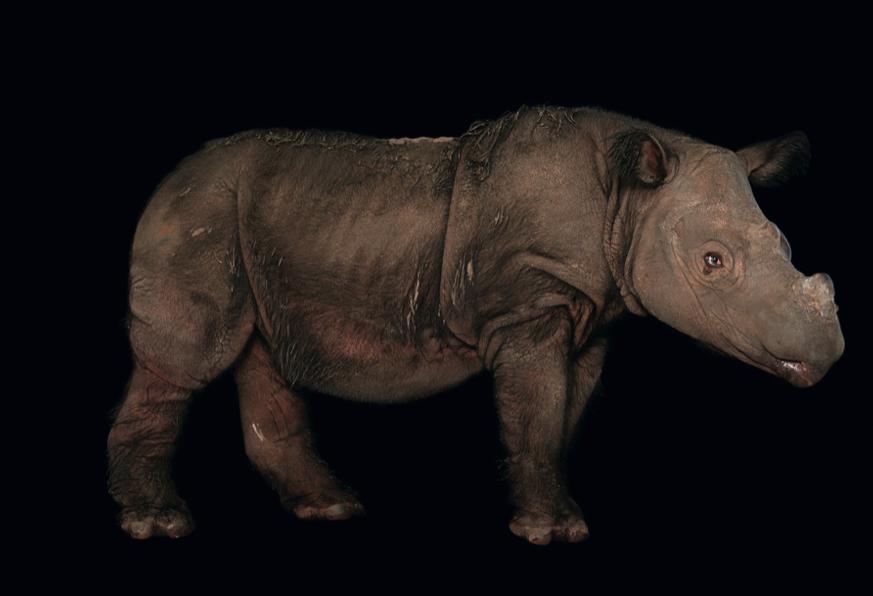 El rinoceronte de Sumatra